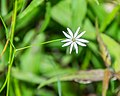 Stellaria graminea in Aveyron (1).jpg