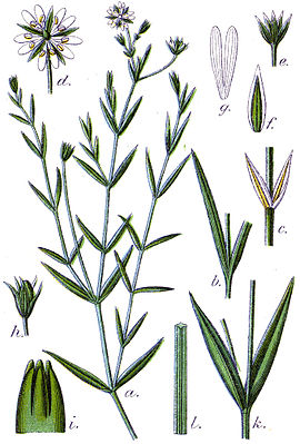 Sumpf-Sternmiere (Stellaria palustris), Illustration