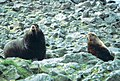 Steller sea lion bull with young eumetopias jubatus.jpg