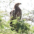 Steppe Eagle (Aquila nipalensis) (32675989348).jpg
