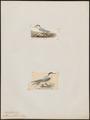 Sterna affinis - 1700-1880 - Print - Iconographia Zoologica - Special Collections University of Amsterdam - UBA01 IZ17900336.tif