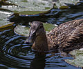 Stockente female, juvenile (Anas platyrhynchos), Vienna, Volksgarten-6152.jpg