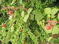 Stony Point Battlefield State Park - raspberries.JPG