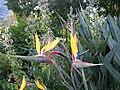 Strelitzia reginae - Mandela's Gold (2).jpg