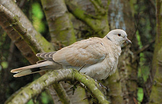 Eurasian collared dove - Juvenile with early collar development