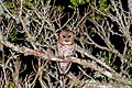 Strix hylophila -Reserva Guainumbi, Sao Luis do Paraitinga, Sao Paulo, Brasil-8.jpg