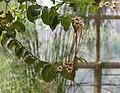 Strophanthus preussii (70150)a.jpg