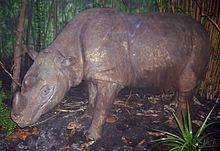 Rhinocéros empaillé vu de profil.
