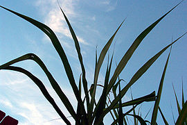 Sugar cane leaves.jpg