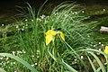 Sumpf-Schwertlilie mit Libelle.jpg