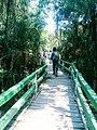 Sundarban footbridge inside tree.jpg