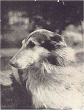 Black and white photograph with head and partial body of a Rough Collie whose body is facing right but head is turned back to look behind him.