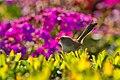 Superb Fairy Wren - AndrewMercer IMG 15501.jpg