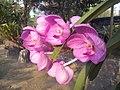 Suvarnabhumi Orchids Farm IMG 20160322 080803 (27170410630).jpg
