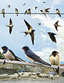 Swallow from the Crossley ID Guide Britain and Ireland.jpg