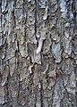 Swietenia macrophylla bark.JPG