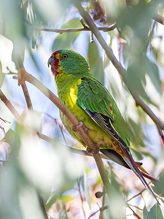 Swift parrot - A visiting migrant in Canberra, Australian Capital Territory