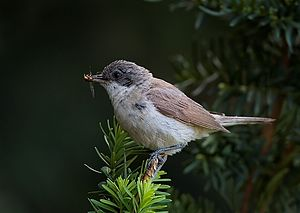 Lesser whitethroat - A lesser whitethroat in the Czech Republic