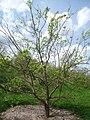 Syringa pekinensis 'Morton', Arnold Arboretum - IMG 5969.JPG