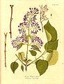 Syringa vulgaris1.jpg