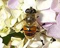 Syrphidae 2 Binsar.jpg