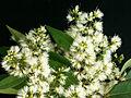 Syzygium gratum flowers.jpg