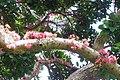 Syzygium moorei - flowers.jpg