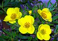 THREE YELLOW FLOWERS - panoramio.jpg