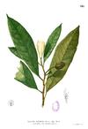 Talauma angatensis Blanco1.148