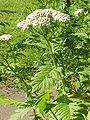 Tanacetum macrophyllum-Stueber.jpg
