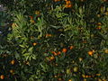 Tangerine Tree.JPG