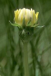 T. californicum