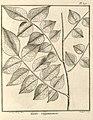 Tariri guianensis Aublet 1775 pl 390.jpg