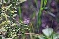 Tattered Female Karner Blue Butterfly (27974551073).jpg
