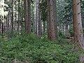 Taunus Forest.jpg