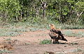 Tawny Eagle, Aquila rapax that we believe had caught a red billed buffalo weaver (Kruger National Park) (20176405155).jpg