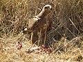 Tawny eagle Aquila rapax in Tanzania 3623 Nevit.jpg