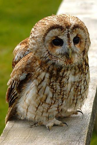Dawn chorus (birds) - Image: Tawny wiki edit 1