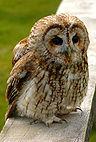 Tawny wiki edit1.jpg