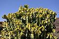 Teguise Guatiza - Jardin - Euphorbia 01 ies.jpg