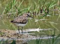 Temminck's Stint (Calidris temminckii) (Breeding plumage) at Bharatpur I IMG 5585.jpg