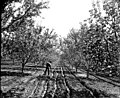 Tending irrigation ditches in an orchard near Yakima, ca 1913 (MOHAI 6192).jpg