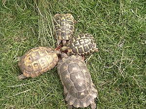 Testudo (genus) - Four tortoises of the genus Testudo. Clockwise from left: Testudo graeca ibera Testudo hermanni boettgeri Testudo hermanni hermanni Testudo marginata sarda.