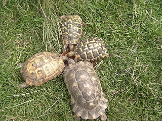 <i>Testudo</i> (genus) genus of turtles