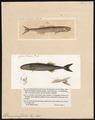 Tetragonurus cuvieri - 1700-1880 - Print - Iconographia Zoologica - Special Collections University of Amsterdam - UBA01 IZ13800035.tif