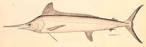 White marlin - Illustration of White Marlin