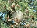 Thaumetopoea pityocampa nest - france.JPG
