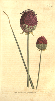 The Botanical Magazine, Plate 251 (Volume 7, 1794).png