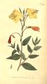 The Botanical Magazine, Plate 388 (Volume 11, 1797).png