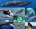 The Cetacea.jpg